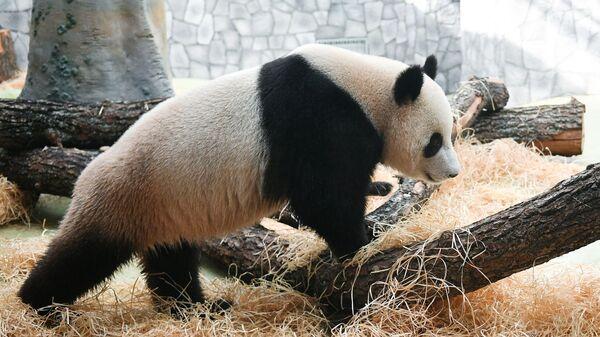 Панда Жуи в Московском зоопарке
