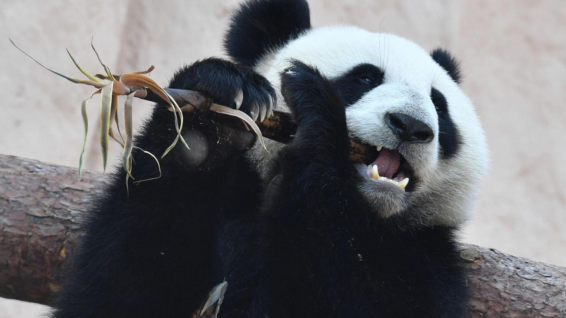 Большая панда, переданная Китаем Московскому зоопарку, в павильоне Фауна Китая - РИА Новости, 1920, 31.07.2021