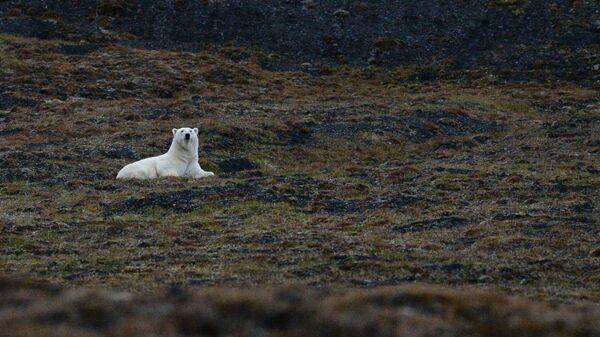 Белый медведь в бухте Драги на Острове Врангеля в Чукотском автономном округе