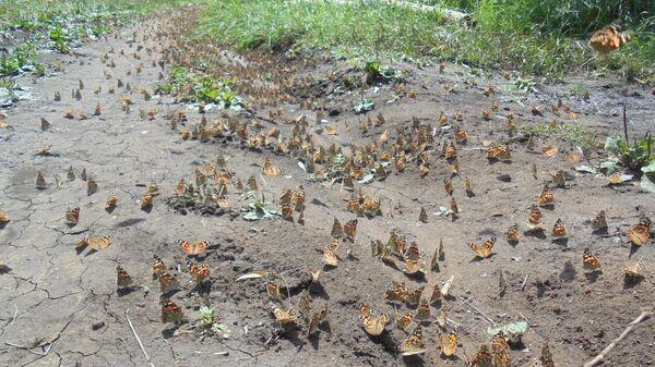 Массовая миграция желто-оранжевых бабочек в Нижегородской области