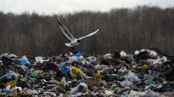 Чайка, пролетающая над мусорным полигоном