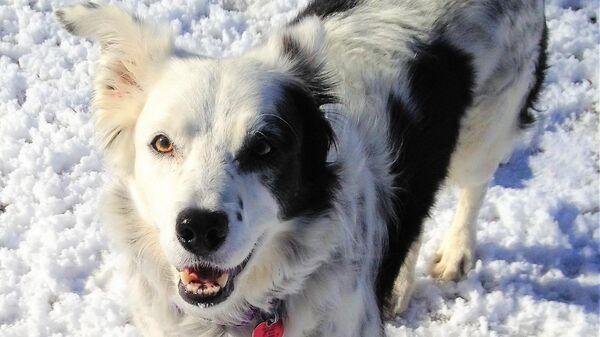 Собака породы бордер-колли по кличке Чейзер (Chaser)