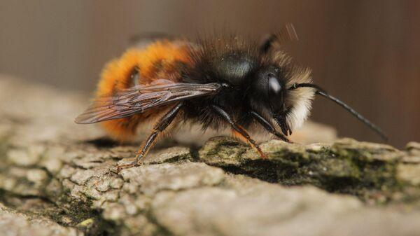 Пчела-осмия