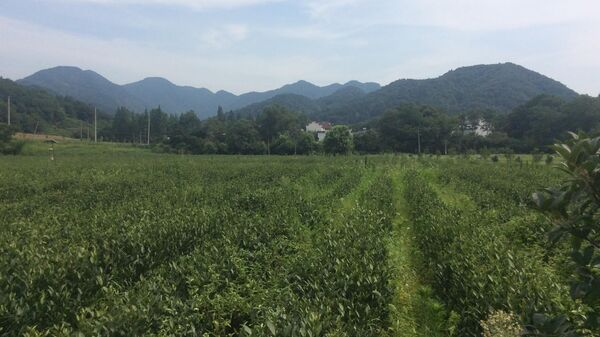 Чайная плантация в окрестностях города Хэфэй (провинция Аньхой )