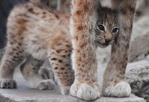 Один из двух детенышей, родившихся у пары восточносибирских рысей Гайки и Чипа 20 мая, в вольере Московского зоопарка