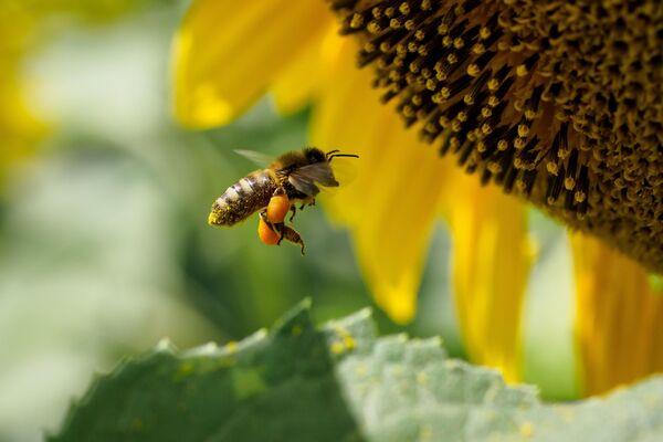 Пчела на цветке подсолнечника в Краснодарском крае