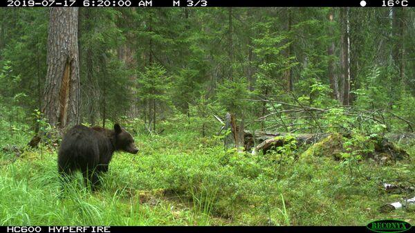 Лесные камеры в Мордовском заповеднике зафиксировали медведей