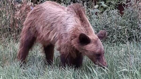 Медведица, сбежавшая во время перевозки в Ингушетию у поселка Первомайский Оренбургской области