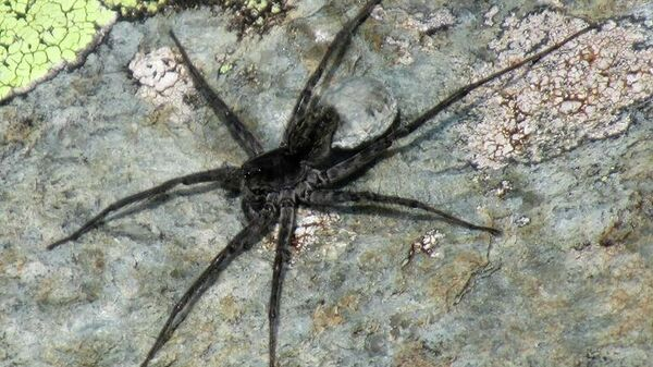 Паук, относящийся к семейству Lycosidae (пауки-волки)