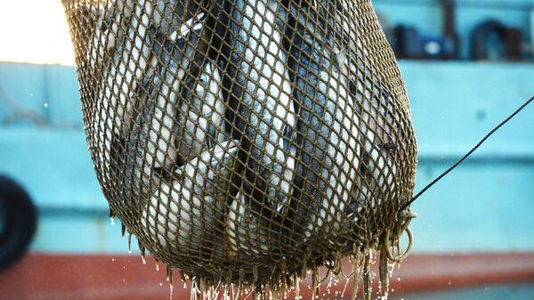 Массовый лов красной рыбы