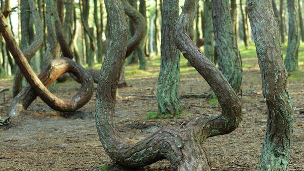 Танцующий лес на Куршской косе в Калининградской области