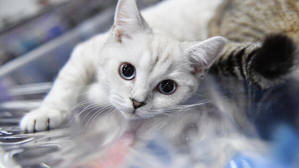 Кошка на выставке КоШарики Шоу в Москве, совместной с международной выставкой KOT da VINCI - 10
