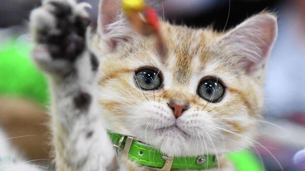 Кошка породы британская на выставке КоШарики Шоу в Москве, совместной с международной выставкой KOT da VINCI - 10