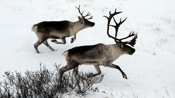 Дикие северные олени