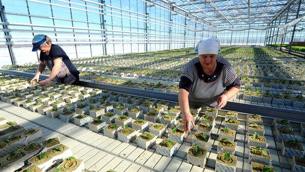 Овощеводы ведут расстановку рассады огурца