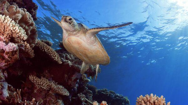 Зеленая черепаха. Большой барьерный риф