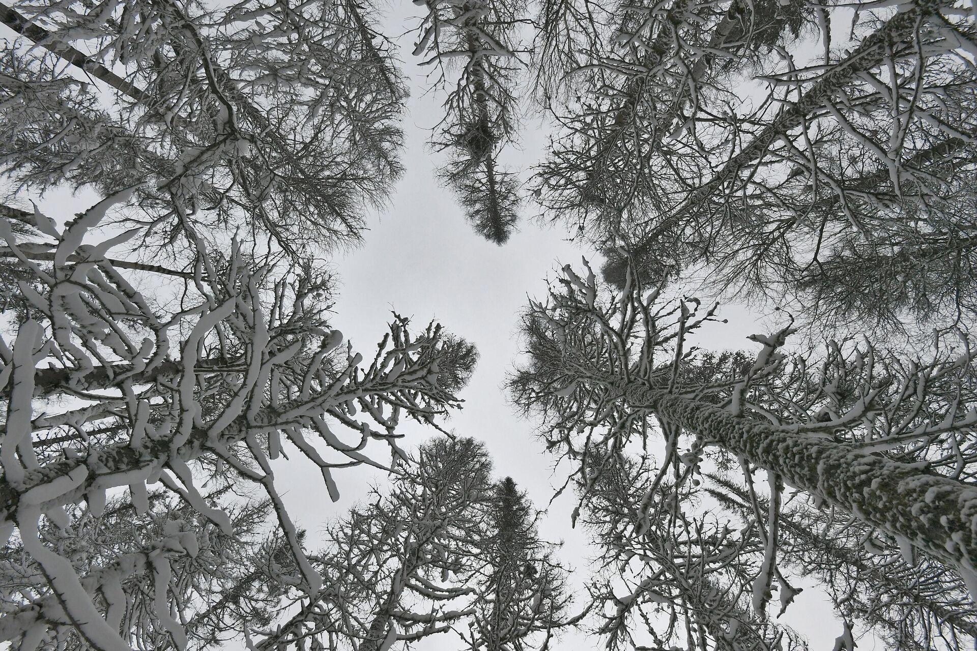 Заснеженные деревья в сибирской тайге - РИА Новости, 1920, 20.01.2021