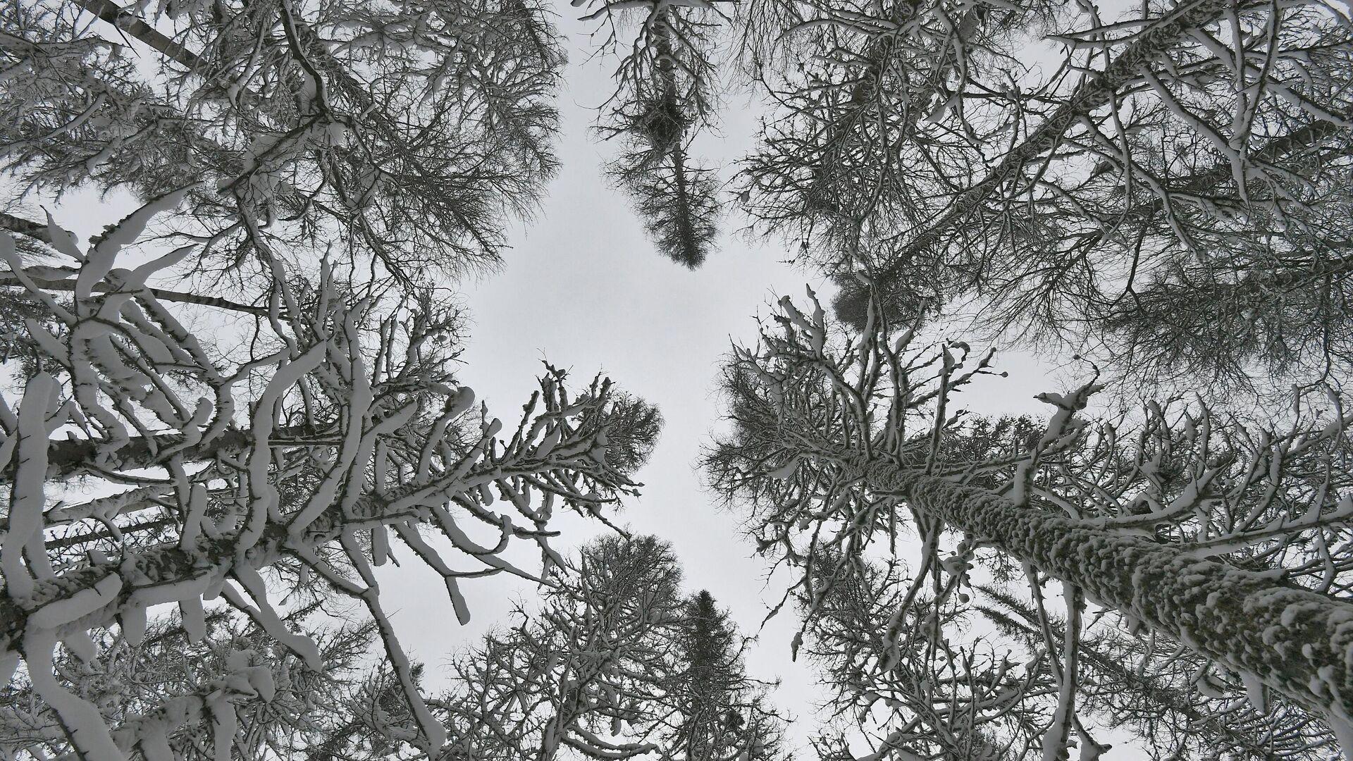 Заснеженные деревья в сибирской тайге - РИА Новости, 1920, 13.09.2020