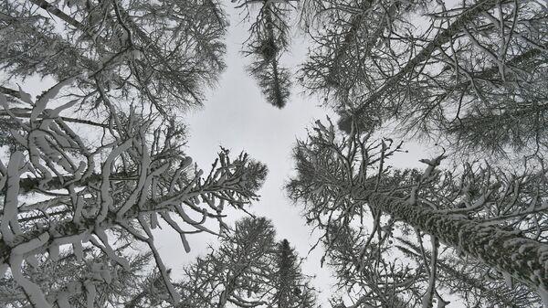 Заснеженные деревья в сибирской тайге