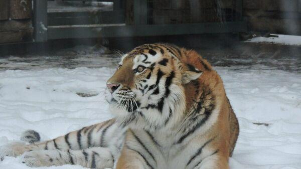 Тигр Устин в Ростовском зоопарке