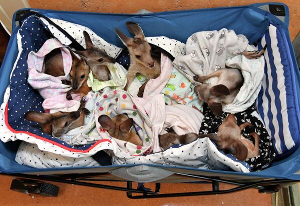 Кенгуру в больнице дикой природы в Беерве, Австралия