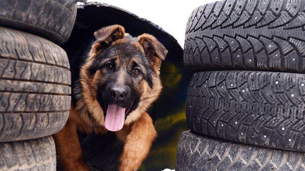 3-х месячный щенок немецкой овчарки проходит полосу препятствий во время тренировки в племенном питомнике служебного собаководства ФСИН