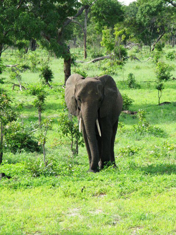 Таиландскую слониху-убийцу  отправили на перевоспитание