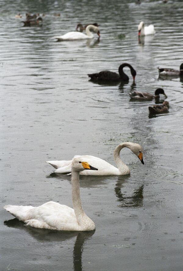 Ежегодная перепись лебедей стартовала на Темзе