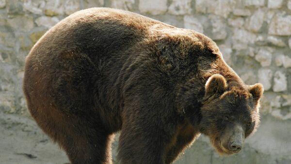 Полицейскому в Швейцарии пришлось стрелять в медведя, напавшего на посетителя парка