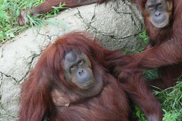 Новая популяция орангутанов обнаружена в Индонезии