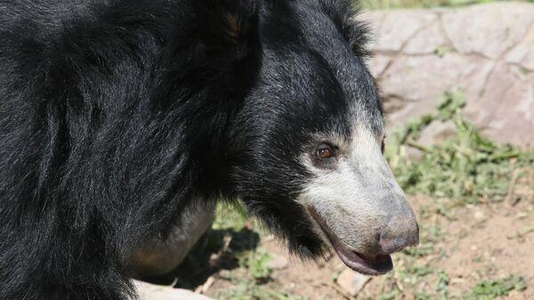 Медведь-губач в Московском зоопарке