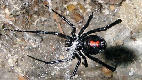 Ядовитый паук Черная вдова обосновывается в Бельгии