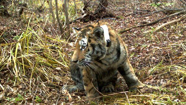 Тигр в заповеднике Уссурийский. Архив