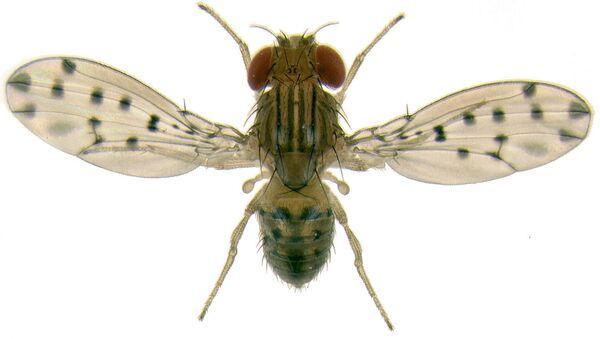 Муха Drosophila guttifera. Архивное фото