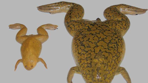 Xenopus tropicalis (слева) и Xenopus laevis (справа)