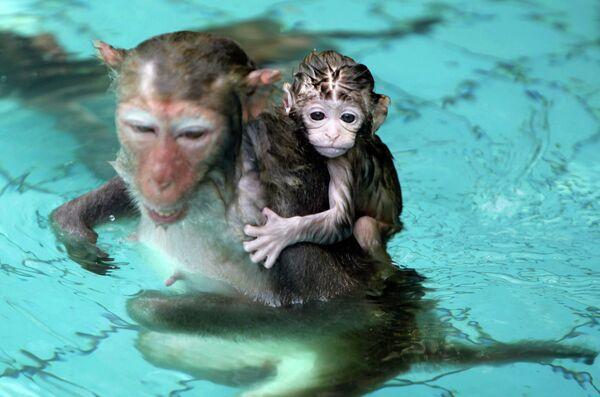 Детеныш обезьяны с мамой в графстве Линшуй, провинция Хайнань