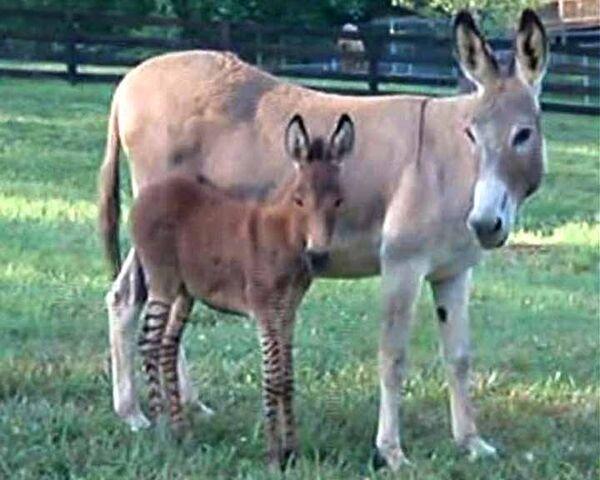 Ослица родила детеныша с ногами зебры