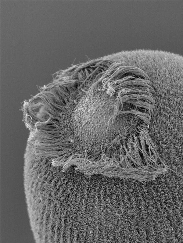 Личинка губки Amphimedon queenslandica