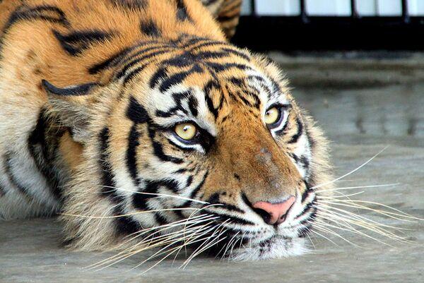 Суматранская тигрица Мекар