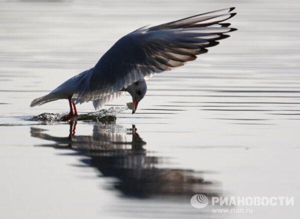Чайки на Царицынском пруду
