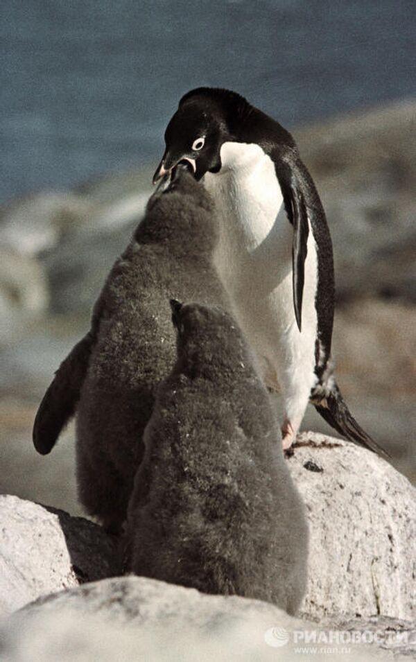 Самка пингвина кормит птенцов
