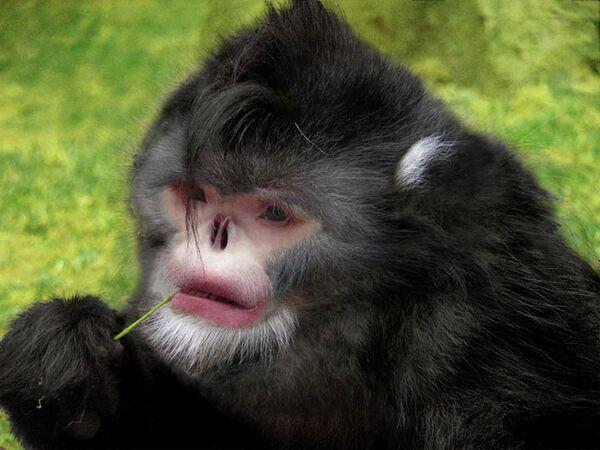 Новый вид обезьян в Северной Мьянме