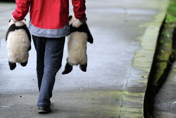 Детеныши панды в провинции Сычуань в Китае