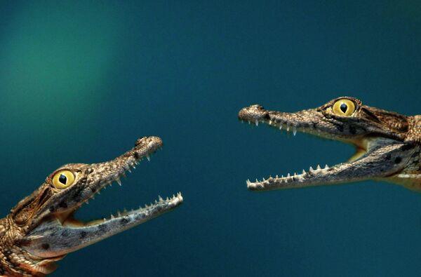 Два четырехмесячных крокодила в зоопарке Hagenbeck в Гамбурге
