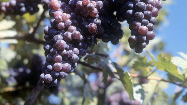 Гроздь винограда. Архив