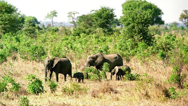 Семейство африканских слонов в Танзании. Архив