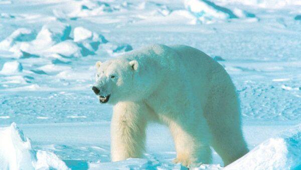 Японский зоопарк пытался поженить двух белых медведиц
