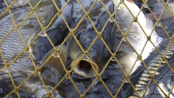 Отлов рыбы в рыбном хозяйстве