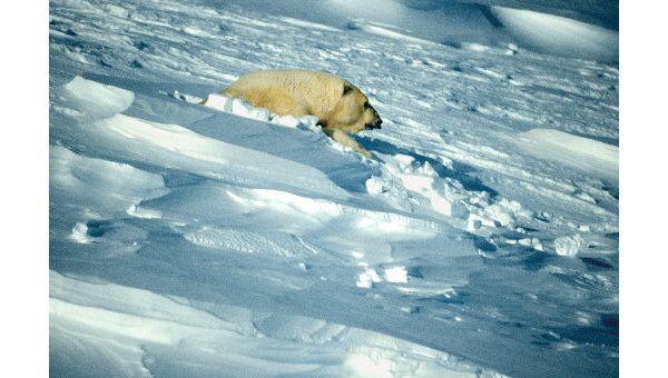 Жительница Арктики - медведица.