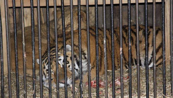Годовалый тигр Шерхан, который напал на трехлетнего мальчика в Амурской области